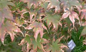 bacterial leaf scorch